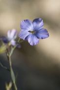 Fleur de lin (1)