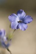 Fleur de lin (2)