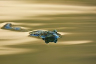 Herpétofaune-Amphibiens-Crapaud-commun