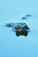 Herpétofaune-Amphibiens-crapaud commun