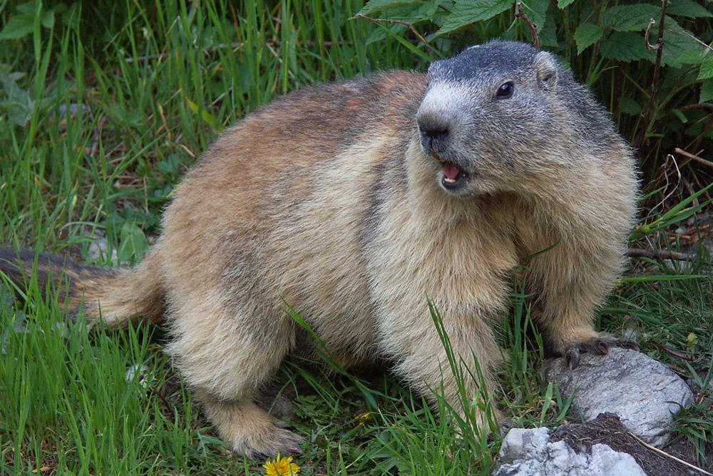 Mammifères-Marmotte