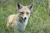renard roux-photographe animalier