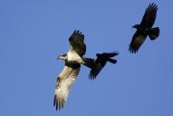 Oiseaux-Balbuzard-pêcheur