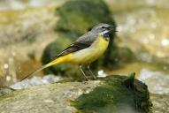 Oiseaux-Bergeronnette-des-ruisseaux
