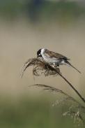 Oiseaux-Bruant-des-roseaux