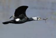 Oiseaux-Cormoran
