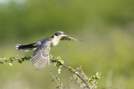 Oiseaux-Coucou-geai