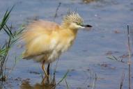 Oiseaux-Crabier-chevelu-en-colère
