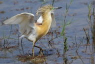 Oiseaux-Crabier-chevelu