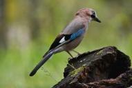 Oiseaux--Geai-des-chênes