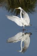 Oiseaux-Grande-aigrette-1