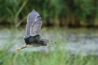 Oiseaux-Héron-bihoreau