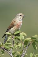 Oiseaux-Linotte-mélodieuse