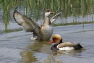 Oiseaux-Nettes-rousses