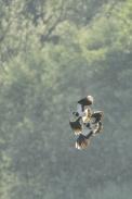 Oiseaux-Vanneau-huppé