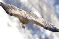 Oiseaux-Vautour-fauve1