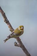 Oiseaux-Verdier