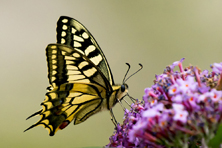 1Machaon